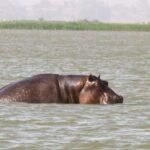 HIPOPÓTAMOS EN EL LAGO TANA. VIAJE A ETIOPÍA, DÍA 17