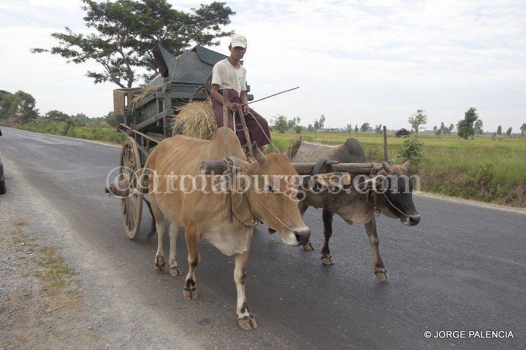 CARRO DE BUEYES CON UNA BELDADORA CERCA DE TAUNGOO