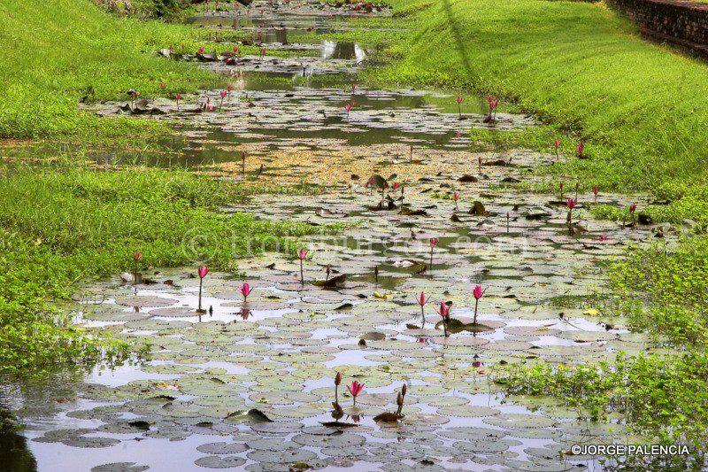 NENÚFARES EN UN CANAL JUNTO A LAS SEÑORA VENDIENDO FRUTA JUNTO A LAS RUINAS DEL WAT MAHATHAT EN EL PARQUE HISTÓRICO DE SUKHOTAI